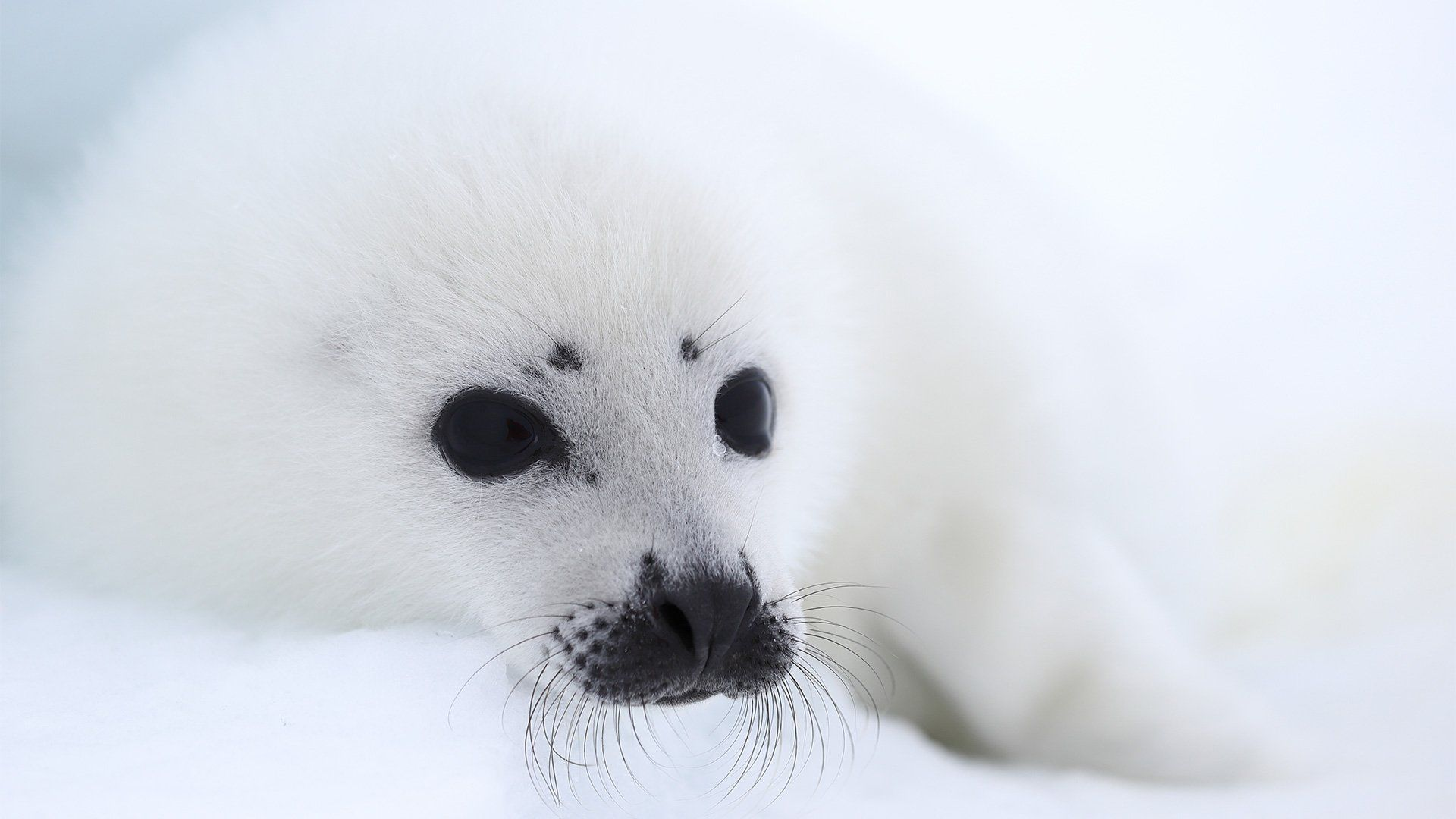 Seal cub sitting against a snowy background.